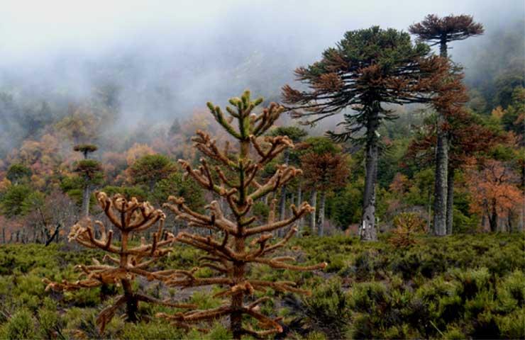 El estrés de La Araucaria, árbol ancestral y resiliente