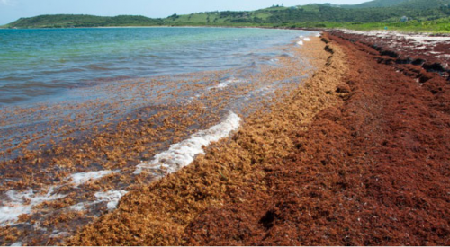 El ser acuático que recorre las costas mexicanas: el sargazo florece