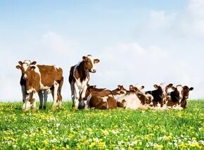 Cows that Eat Less and Grow Faster? Eco-Friendly Beef Coming to a Supermarket Near You