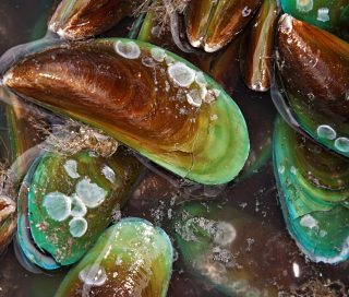 Ancient Eco-Tech, Modern Issues: Traditional Māori Knowledge Creates Ocean-Safe Mussel Restoration